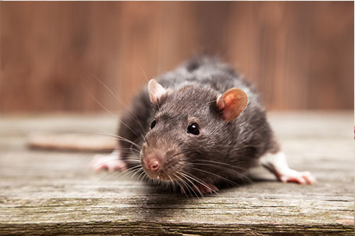 Pest & Rodent Control